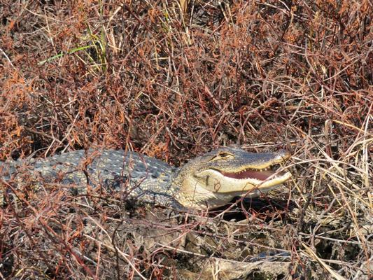 3-foot-gator