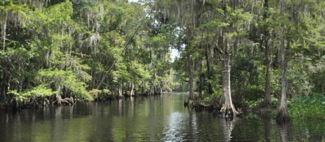 Everglades Cypress Tree